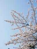2015春櫻上野不忍池:P1250554.jpg