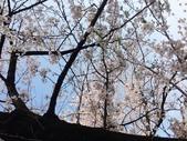 2015春櫻上野不忍池:IMG_2130.jpg