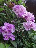 紫色花:1-3.JPG