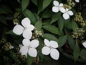 我的花園:華八仙 (2).jpg