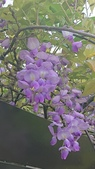 109紫藤:AAADSC_5854.JPG