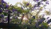 109紫藤:AAADSC_5807.JPG