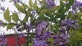 109紫藤:AAADSC_5855.JPG
