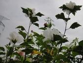我的花園:cccDSC00249.JPG