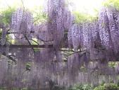 4/23紫藤園:ZZDSC04608.JPG