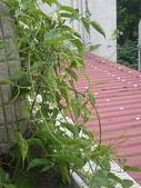我的花園:97.8.8 141.jpg