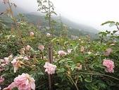 grace的玫瑰花開:zz2011-5-2grace 花園 (162).JPG