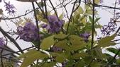 109紫藤:AAADSC_5857.JPG