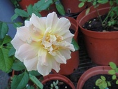 我的花園:zzDSC00571.JPG