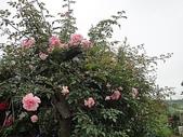 grace的玫瑰花開:zz2011-5-2grace 花園 (229).JPG