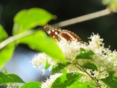 小花園裡蝴蝶好忙....:cccIMG_0100.JPG
