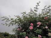 grace的玫瑰花開:zz2011-5-2grace 花園 (175).JPG