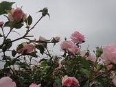 grace的玫瑰花開:zz2011-5-2grace 花園 (153).JPG