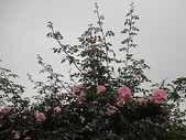 grace的玫瑰花開:zz2011-5-2grace 花園 (222).JPG