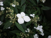 我的花園:華八仙 (5).jpg