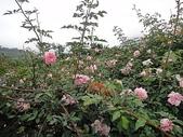 grace的玫瑰花開:zz2011-5-2grace 花園 (208).JPG
