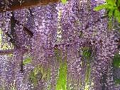 4/23紫藤園:ZZDSC04606.JPG