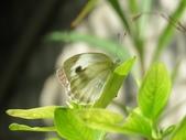 小花園裡蝴蝶好忙....:cccIMG_0097.JPG