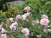 grace的玫瑰花開:zz2011-5-2grace 花園 (166).JPG