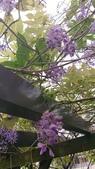 109紫藤:AAADSC_5858.JPG