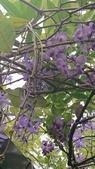 109紫藤:AAADSC_5859.JPG