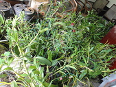 我的花園:DSC00022.JPG