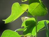 小花園裡蝴蝶好忙....:cccIMG_0090.JPG