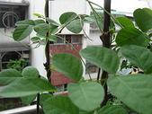 我的花園:蝶豆 016