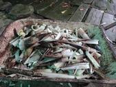 關西採竹筍:ZZDSC03353.JPG