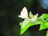 小花園裡蝴蝶好忙....:cccIMG_0102.JPG