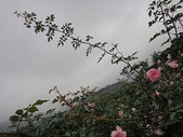 grace的玫瑰花開:zz2011-5-2grace 花園 (212).JPG