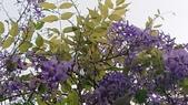 109紫藤:AAADSC_5806.JPG