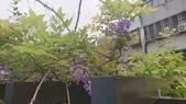 109紫藤:AAADSC_5849.JPG