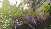 109紫藤:AAADSC_5850.JPG