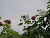 我的花園:cccDSC00237.JPG