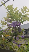 109紫藤:AAADSC_5851.JPG