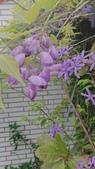 109紫藤:AAADSC_5852.JPG