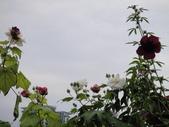 我的花園:cccDSC00238.JPG