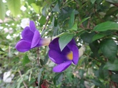 紫色花:12DSC00891.JPG