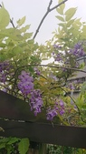 109紫藤:AAADSC_5853.JPG