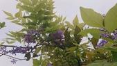 109紫藤:AAADSC_5856.JPG