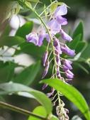 109紫藤:AAAIMG_0002.JPG