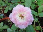 我的花園:zz2011-5-22 (7).JPG