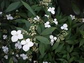 我的花園:華八仙 (4).jpg