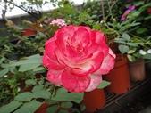 我的花園:zz2011-5-20 (4).JPG