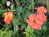 我的花園:zzDSC00104.JPG