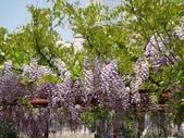 4/23紫藤園:ZZDSC04738.JPG