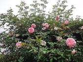 grace的玫瑰花開:zz2011-5-2grace 花園 (174).JPG