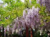 4/23紫藤園:ZZDSC04740.JPG