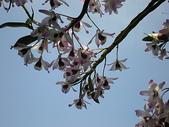 我的花園:石斛蘭 028.jpg